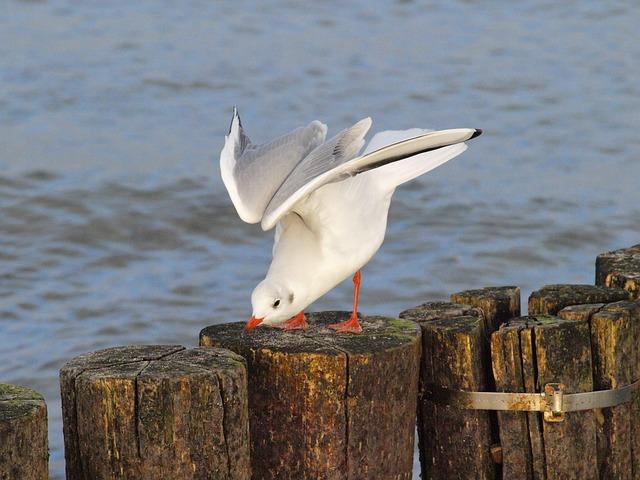 seagull-526895_640
