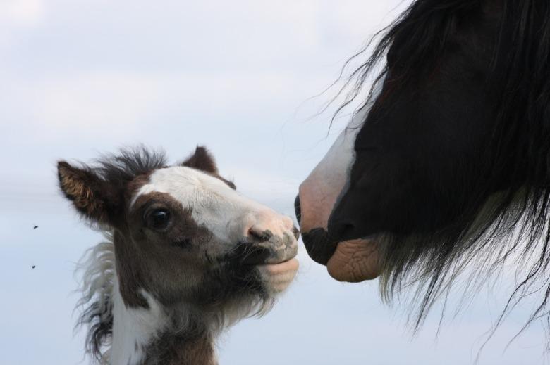 foal-2691895_1280
