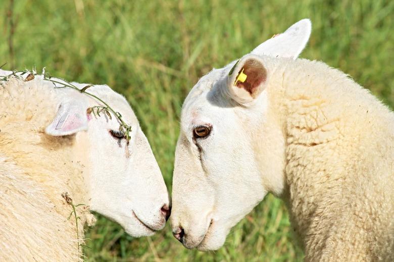 sheep-2756295_1280